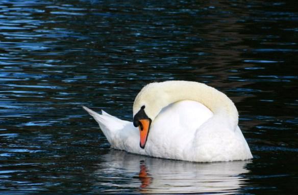 Bethany Beach Swan - 1